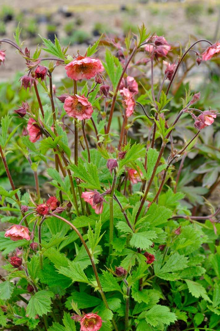 Geum 'Bell Bank' has a bee-friendly open flower; planted by Monty Don in his wild life garden - Gardener's World May'15