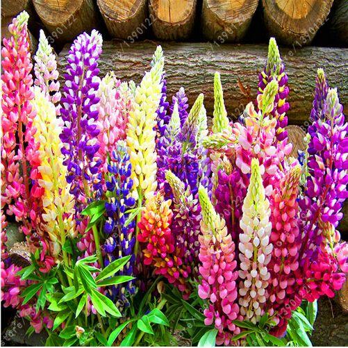 100 semillas/bolsa lupin (Altramuz) semillas, lupin iii, hermosas semillas de flores, plantas en ciernes de lupino tasa de 98% para el hogar jardín plantación