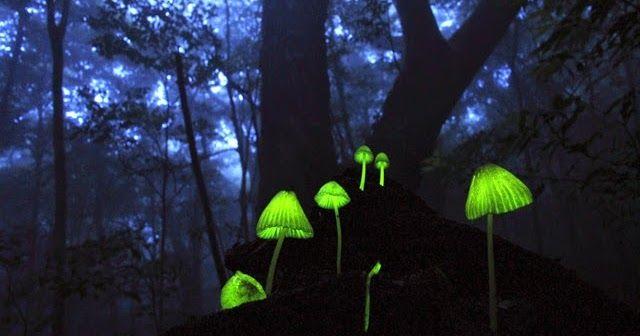 Indah nian CIPTAAN MU ya RABB - Melihat Jamur-Jamur yang Bercahaya di kegelapan MALAM