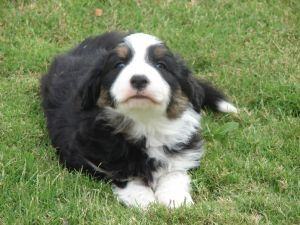 ABCA Registered Border Collie Puppies out of Working Parents - Border Collie for Sale