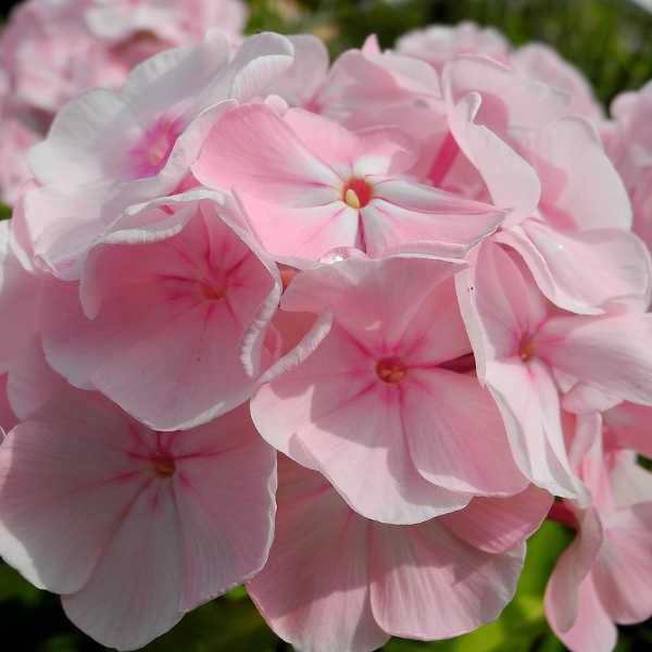 17 best images about phlox on pinterest gardens sun and perennials. Black Bedroom Furniture Sets. Home Design Ideas