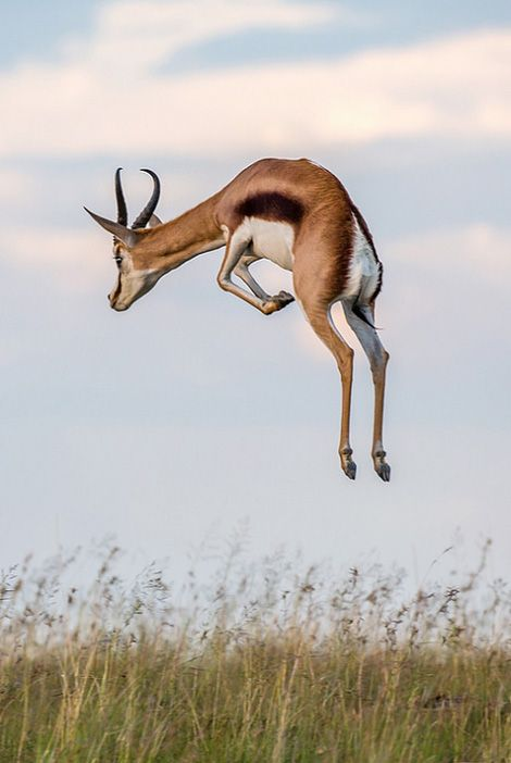 No word on this, but I think it's a Thomson's gazelle. Insane height.