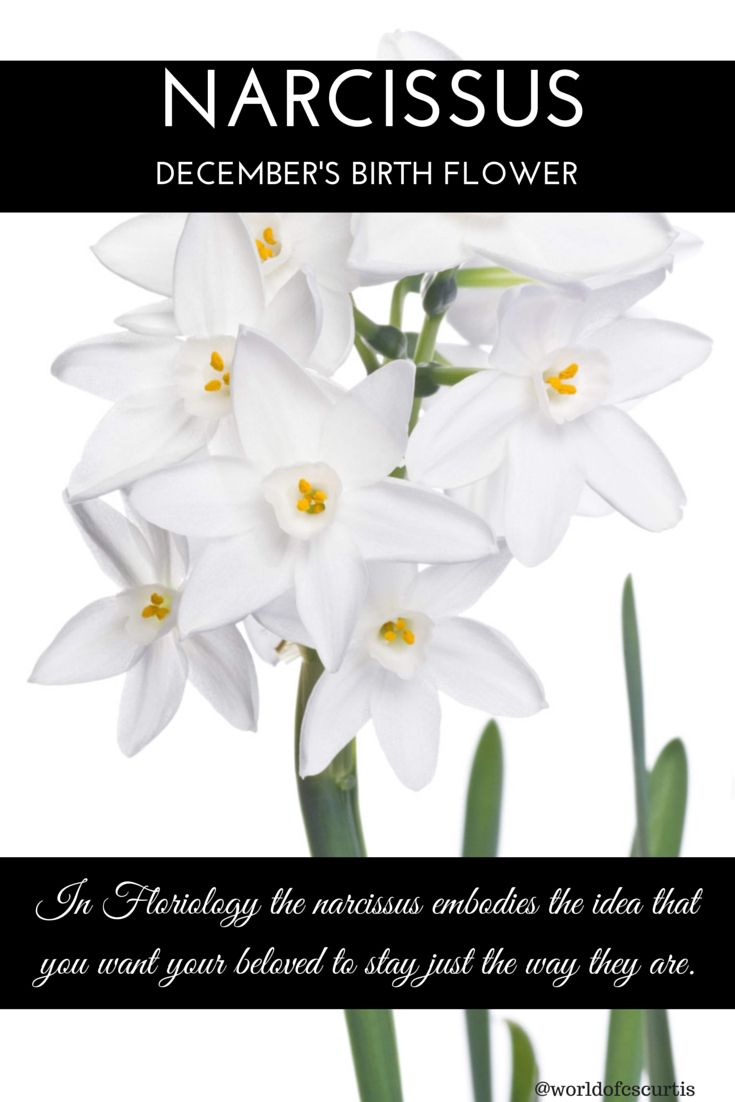 Narcissus - December Birth Flower  Some months have more than one flower.