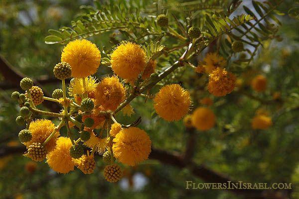 Acacia farnesiana - שיטת המשוכות