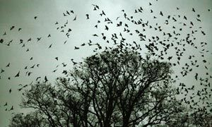 Rooks and jackdaws gather for their evening roost