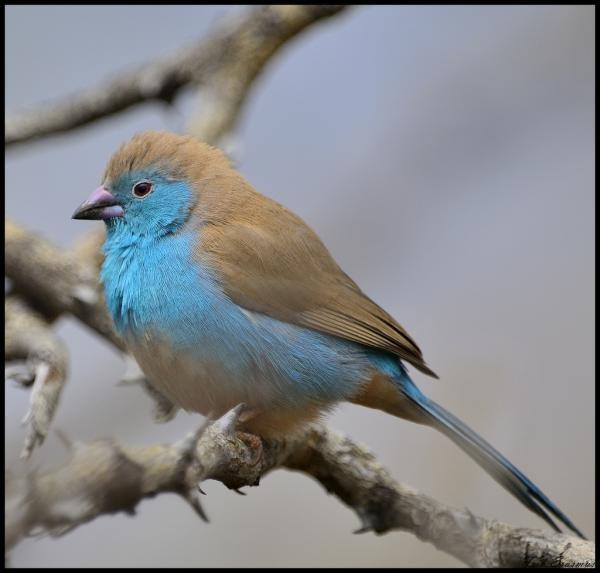 Look Mom, I'm birding! Blue Waxbill, Jaci's Lodges birding safaris