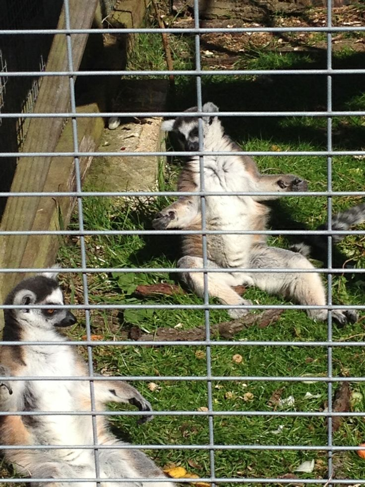 Lemurs sunny themselves at The Parrot Zoo