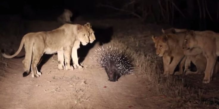 """Who's the king of the jungle now?   Footage posted on YouTube last week shows a pride of 17 lions surrounding a single porcupine at the Londolozi Game Reserve, a private reserve bordering Kruger National Park in South Africa.  """"This is not a..."""