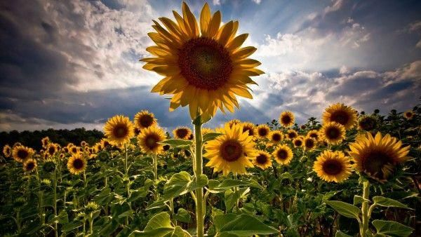 Sunflower Field Hd 1080p Flower Background Images Flowers Nature Sunflower Wallpaper Beautiful sunflower field hd wallpaper