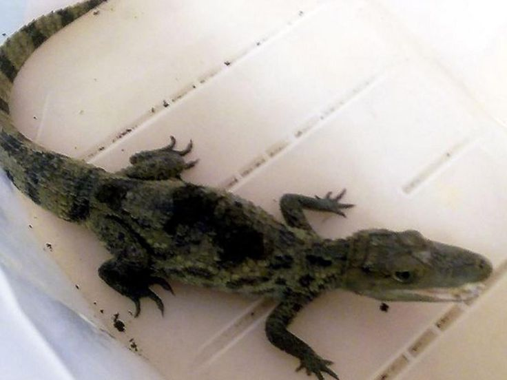 Chew Valley lake alligator video: Reptile spotted hissing at passersby at Somerset reservoir