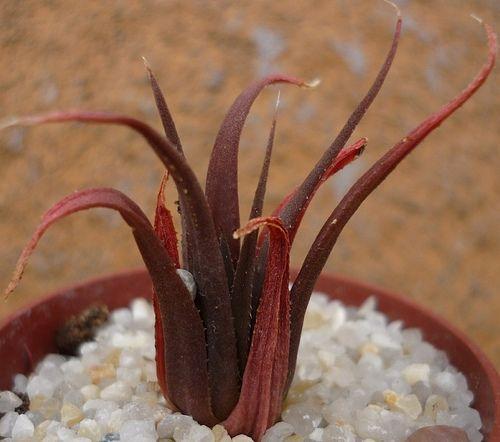 Succulent Plant Information: Haworthia angustifolia