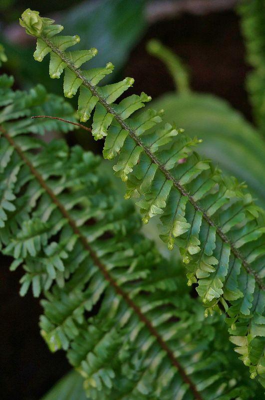 108 best images about f e r n s on pinterest japanese - Nephrolepis exaltata ...