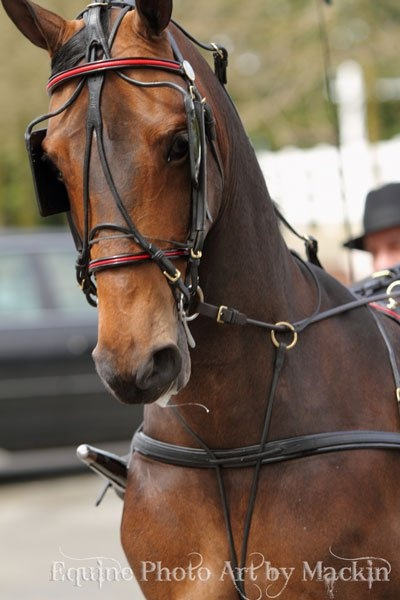 Morgan horse driving