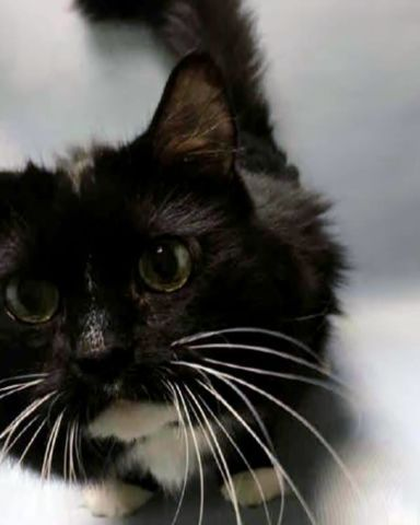 PUFFY - A1087857 - - Brooklyn  *** TO BE DESTROYED 09/02/16 *** PUFFY ENJOYS BACK RUBS (except by the ACC)……PUFFY is a mellow, fun, NEUTERED twelve year old who had a happy family life and a cat pal TINY (not listed). After twelve years of that happy family life, someone developed Allergies to both cats…amazing how that happens and also how no one ever takes allergy meds instead of abandoning their cats! PUFFY likes to eat, sleep and play and he interacts