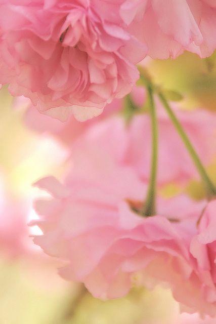 ღ Blooms: Cherries Blossoms, Spring Flowers, Pink Flowers, Pink Ruffles, The Kiss, Cascading Flowers, Flowers Food, Pale Pink, Spring Blossoms