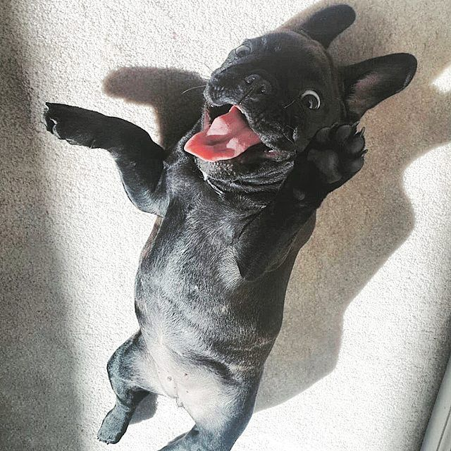 """50 Likes, 7 Comments - Buttercup (@buttercup_the_frenchie) on Instagram: """"Oh, hello there!  