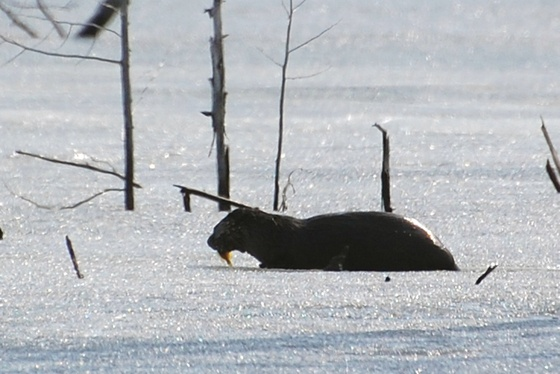 MyNews contributor Stace Wood sent in this photo of an otter eating a fish on Elliot Lake near Blind River, Ont. on Wednesday, March 21. 2012.