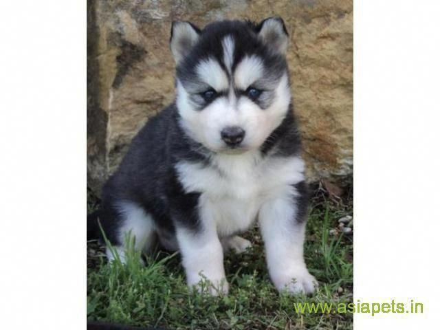 All About Playful Siberian Husky Dogs Exercise Needs