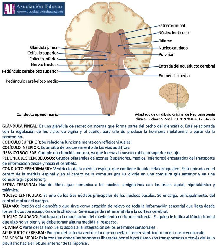 Ilustración de uso libre, sólo se pide citar la fuente (Asociación Educar). GLÁNDULA PINEAL: Es una glándula de secreción interna que forma parte del techo del diencéfalo. Está relacionada con la regulación de los ciclos de vigilia y el sueño; para ello de produce la hormona melatonina a partir de la serotonina. COLÍCULO SUPERIOR: Se relaciona funcionalmente con reflejos visuales. COLÍCULO INFERIOR: Es un sitio de procesamiento de las vías auditivas.