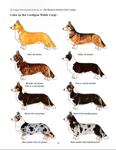 Illustration of Cardigan Coat Colors #corgi