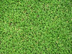 Leptinella minor - native ground cover will grow on clay banks --NoMow - the plants