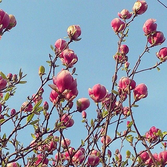 Magnoliowe drzewko.. zachwycające! Też takie chcę ;) #magnolia #flowers #spring #april