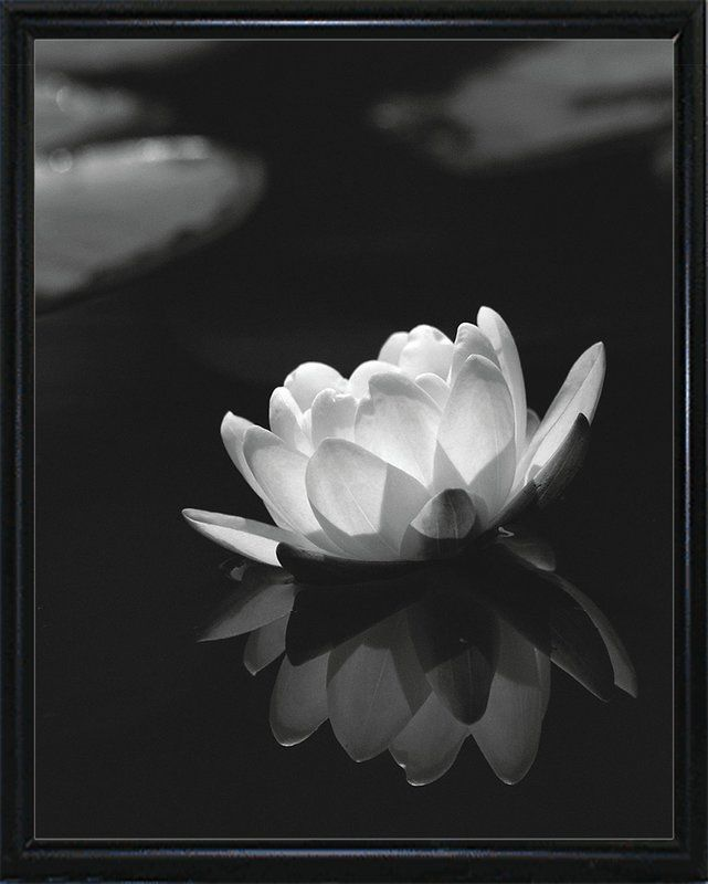 Ebern Designs Water Lily Black And White Photographic Print Wayfair Water Lilies Art Photographic Print Water Lily