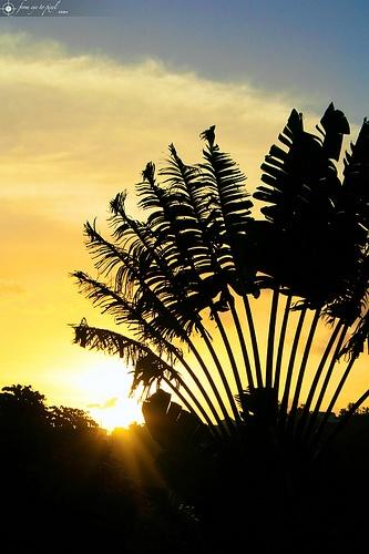 Madagascar - Ravenala madagascariensis, l'arbre du voyageur. L'arbre du voyageur devrait son nom à sa capacité à stocker de l'eau à la base de ses feuilles et au secours qu'il apporta aux voyageurs assoiffés.