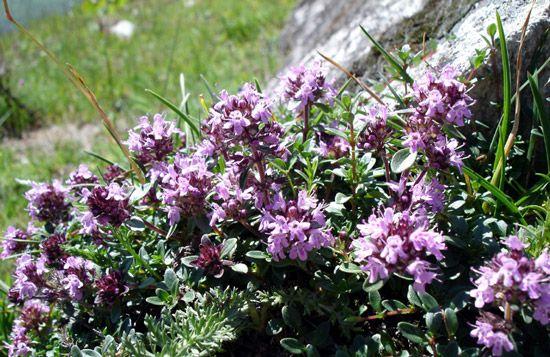 Timo selvatico (Thymus serpyllum L.) - Tatra Mountains, Hala Upłaz