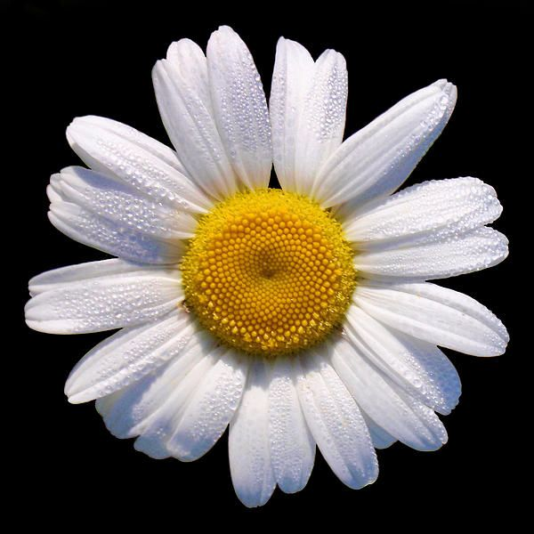 Pin By Marina Merfi Tv On A Print 2018 White Flower Png Sunflowers And Daisies Daisy