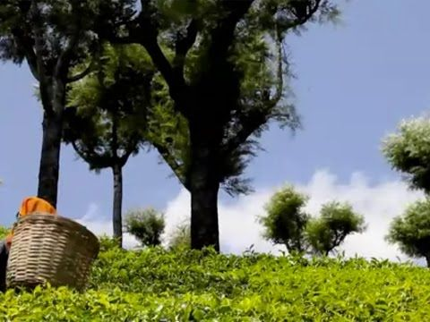 """1 Good Reason you should watch this video from @HonestTea - If you don't know how beautiful tea gardens are or how tea is picked then you have to check out this 2min video. Go to """"Visit Site"""" to SEE GOOD BUSINESS."""