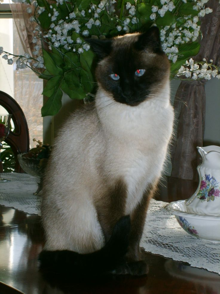 When I was 8 years old, I wanted a cat for my birthday. My Mom took me to Zayres and I bought a Siamese Cat for $2.50, Tabby lived to be 18 years old.
