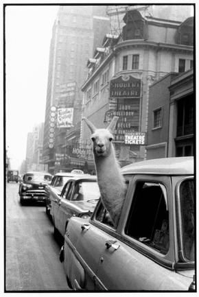 A Llama in Time Square, 1957.  (Inge Morath)