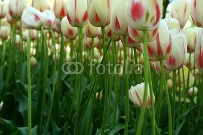 Holland - beautiful tulips