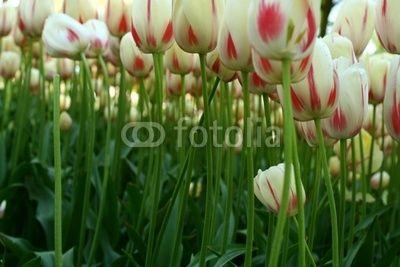 Holland - beautiful tulips