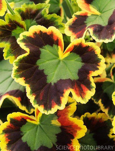 Fancy Leaf Geranium Mrs Pollock Or Tri Color Gardening