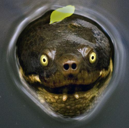 pics of freshwater baby turtles   Australian Freshwater Turtles + Join Group