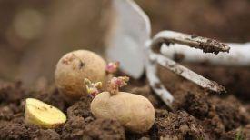 Une technique Infaillible : Apprenez à cultiver les pommes de terre chez vous !
