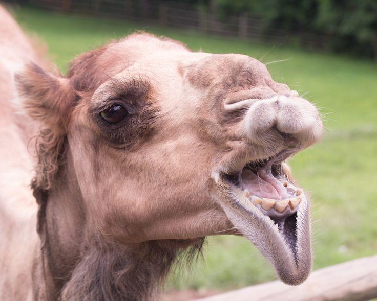 #funny #camel ;-))))))