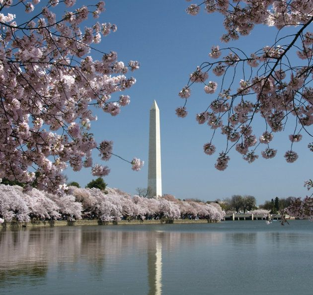 Washington, DC: Cherries Blossoms, Washington D C, Blossoms Festivals, Washington Cherries, Washington Monuments, Blossoms Time, Blossoms Trees, Washington Dc, Free Washington