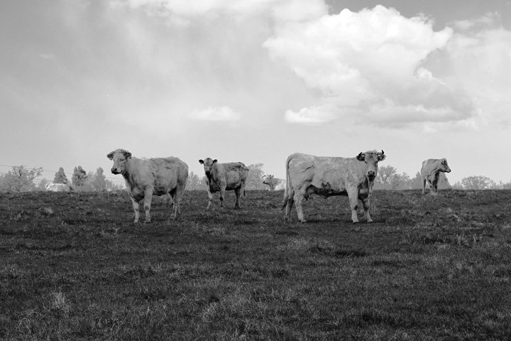 Curious cows near Hornborgasjön/Sweden