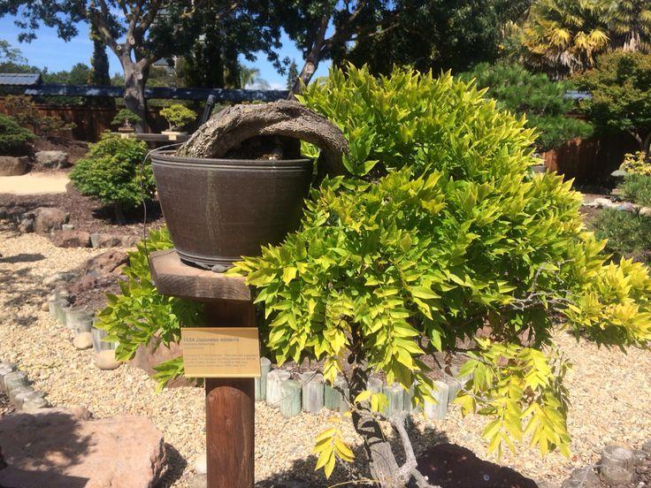 7 Best Bonsai Ume Images On Pinterest Bonsai Trees Bonsai And Plants