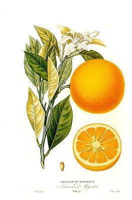 """Die Orange (Aussprache: [oˈʁaŋʒə] oder [oˈʁɑ̃ːʒə]), nördlich der Speyerer Linie auch Apfelsine (von niederdeutsch appelsina, wörtlich """"Apfel aus China/Sina"""") genannt, ist ein immergrüner Baum, im Speziellen wird auch dessen Frucht so genannt.[1] Der gültige botanische Name der Orange ist Citrus × sinensis L., damit gehört sie zur Gattung der Zitruspflanzen (Citrus) in der Familie der Rautengewächse (Rutaceae). Sie stammt aus China oder Südostasien..."""""""