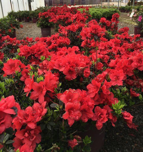 Autumn Fire Encore Azalea In 2020 Winter Plants Dwarf Azaleas Fall Flowers Garden