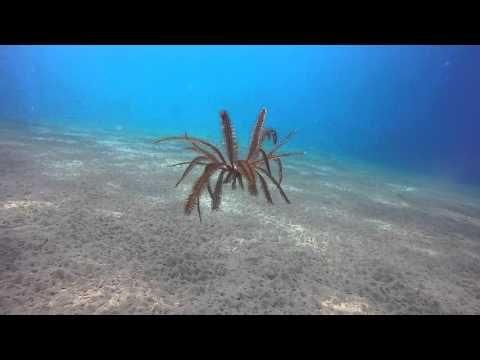 "Amazing Free Swimming Feather Starfish ""Crinoid"" Dances on Ocean Floor - YouTube"