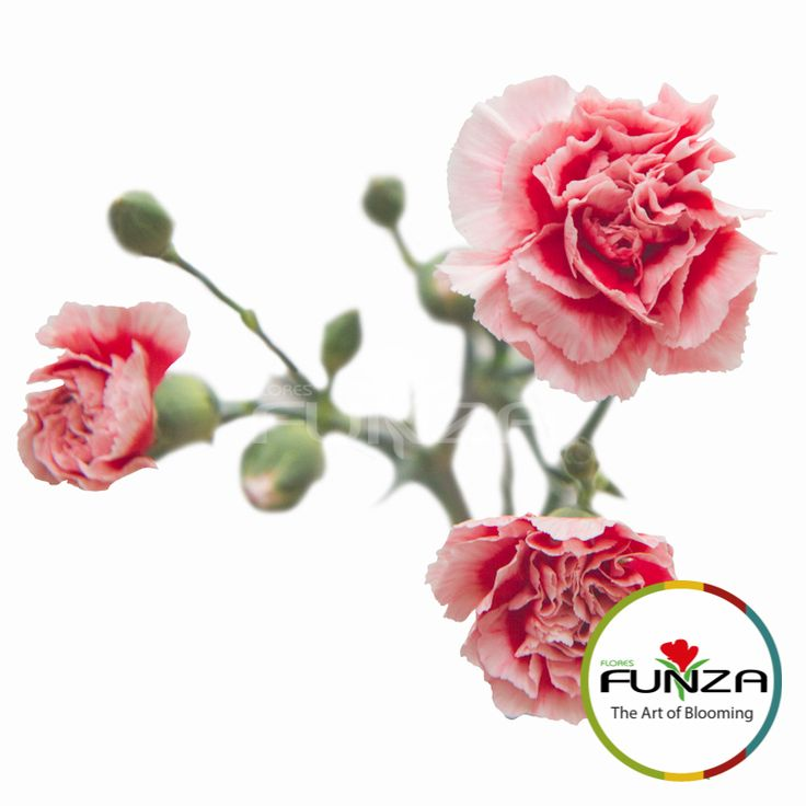 Scarlette Spray Carnation from Flores Funza. Variety: Scarlette Plus. Availability: Year-round.