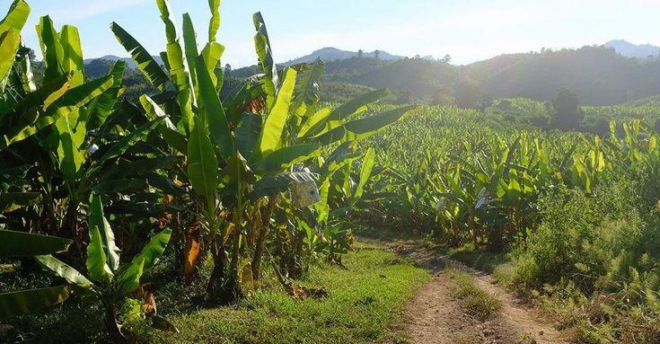 Kryptoměna bananacoin podporuje udržitelné banány z Laosu - Zprávy Krize15