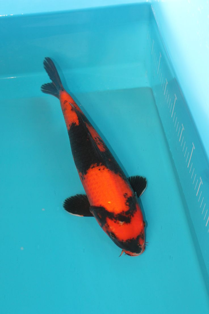 1000 ideas about koi for sale on pinterest fish ponds for Koi fish ponds for sale