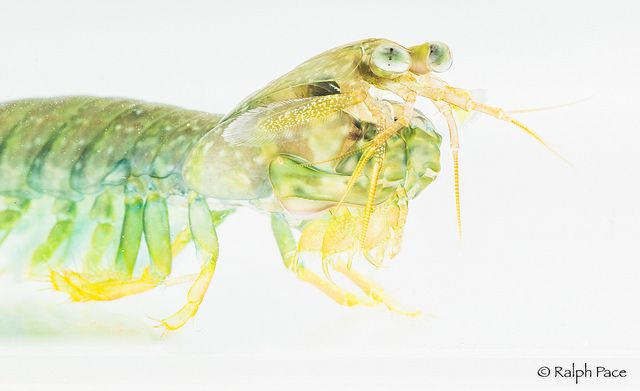 Mantis shrimp  Photo: Ralph Pace Scripps postdoctoral researcher Maya deVries unlocks the secrets of the mantis shrimp's power. Read the story in explorations now: scripps.ucsd.edu/news/research-highlight-small-mighty