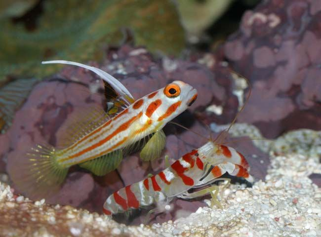 goby fish and blind shrimp relationship quizzes